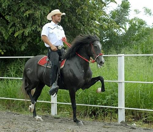 Caballo Costarricense de Paso