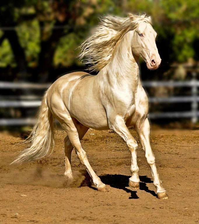 caballo akhal teke