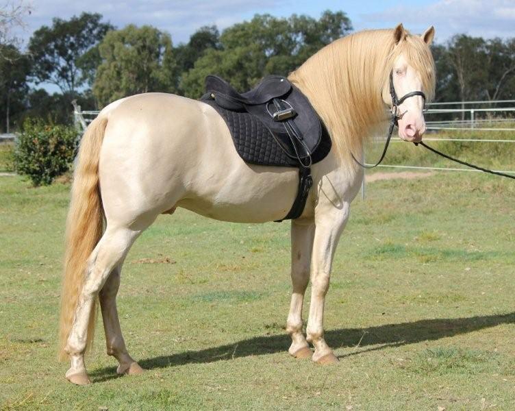 caballos españoles