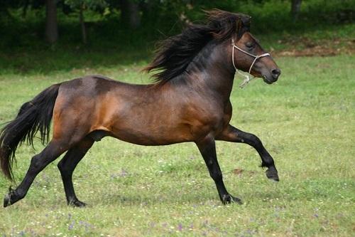 Caballo de pura raza gallega