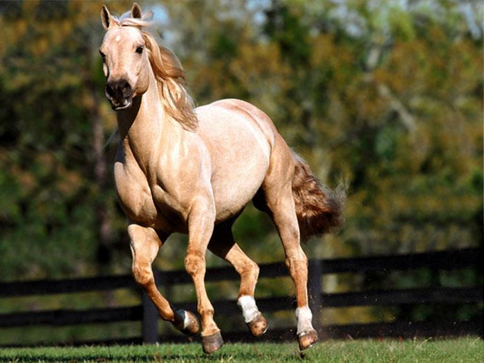 Caballo quarter horse raza