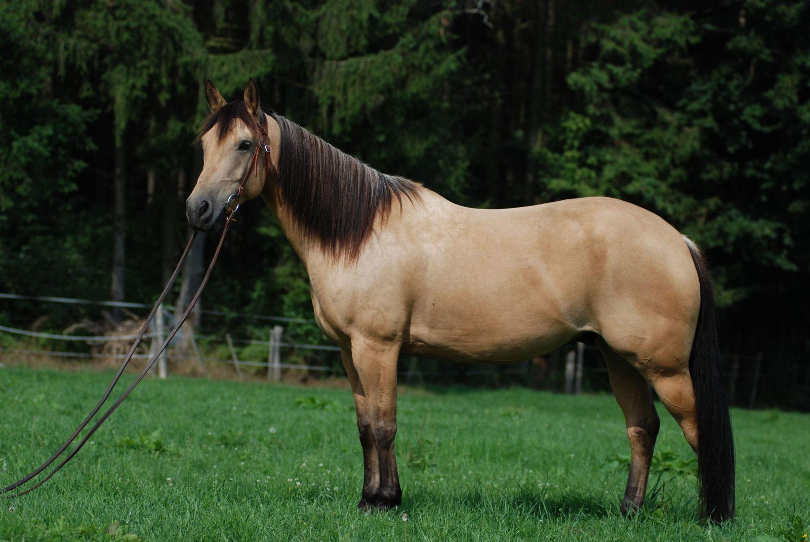 Caballo quarter horse