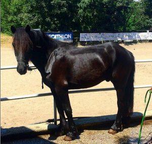 el caballo bardigiano