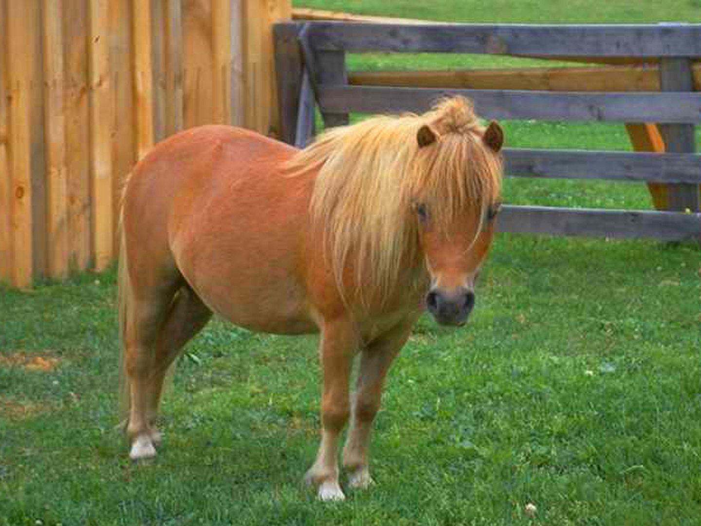 caballo poni de shetland